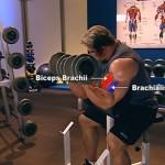 Brate - Bicepsi - Muschi
