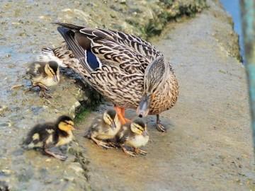 Familie de rate