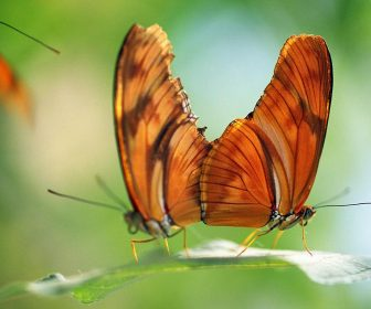 two-butterflies-on-a-leaf-natural-selection-craig-tuttle