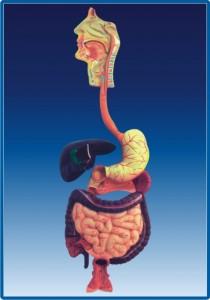 Sistemul digestiv daca nu bem apa