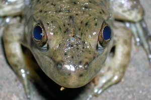 Ochi parietal broasca