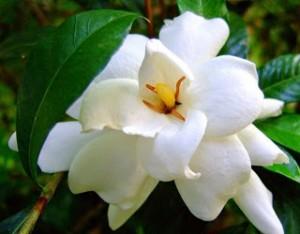 Floare gardenia