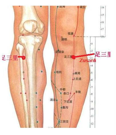 Zusanli - Anatomie - Oase si muschi
